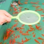 子どもが金魚をすくってきたらどうする?お祭りの金魚の飼い方