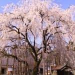 春はお花見!子どもに見せたい福井県の桜スポット9選