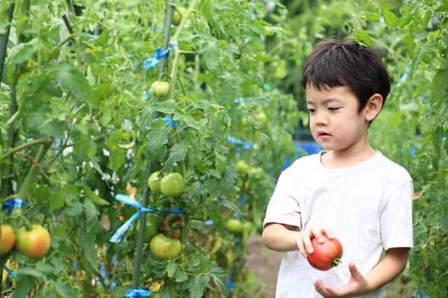 トマト狩りをする男の子