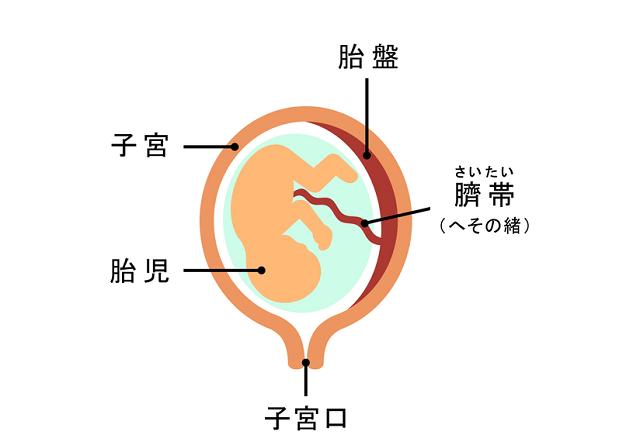 胎盤の仕組み